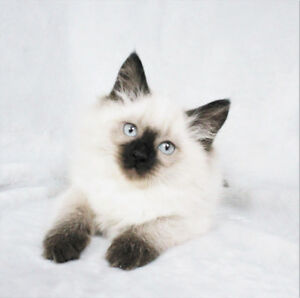 Very Friendly Seal Point Ragdoll Kittens