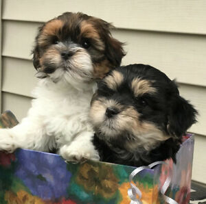 Morkie Poo puppies
