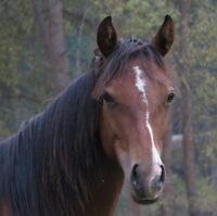 Well Bred Quarter Horse Yearling Bay Filly for sale
