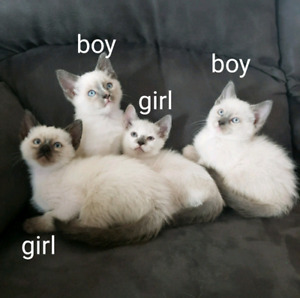 Beautiful ragdoll kittens for a great price!