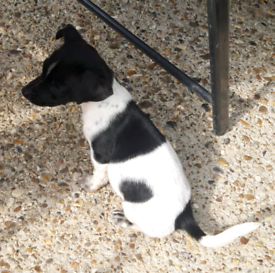 Jack Russell x Patterdale