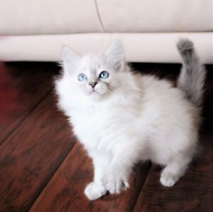 LILACPOINT    RAGDOLLKITTENS FOR ADOPTION