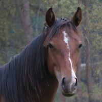 well bred quarter horse filly for sale