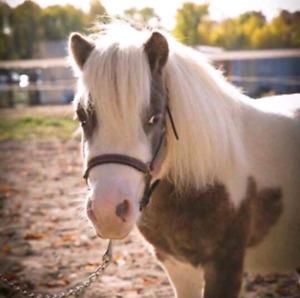 Miniature horse mini pony