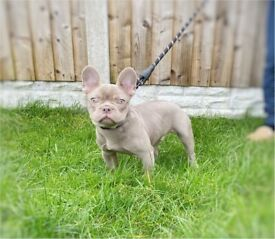 5 month old stunning Isabella Boy French Bulldog
