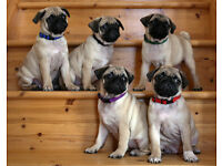 Pedigree, Kennel Club Registered Pug Puppies
