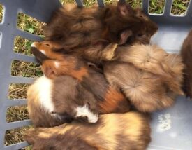 Baby guinea pigs. Ready now. 8 weeks old. £10 each. Boys only.