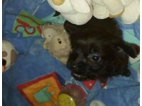 Yorkshire Terrier Cocker Spaniel Puppy For Sale