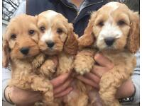 Apricot and white cockapoo puppy one girl left
