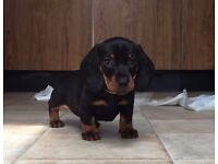 Dachshund / Sausage dog Puppies x3 , Pedigree KC reg, Standard Size, Smooth haired black and tan