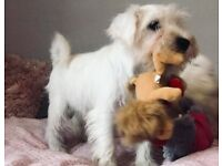 White Miniature Schnauzer Puppies