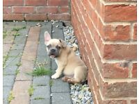 French bulldog | Dogs & Puppies for Sale - Gumtree