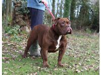 Beautiful Olde English Bulldogge Female