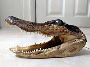 Alligator Head Taxidermy 5.5 - 6.5 inch Curiosity Cabinet Curio Gift