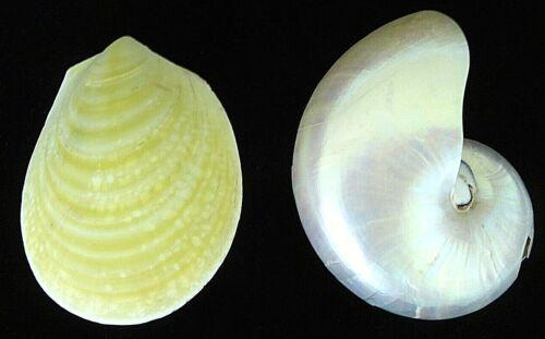 "2 Rare 6"" Yellow Lima File & White Pearl Nautilus Sea shells Aquarium Home Decor"