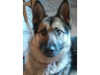 German Shepherd x husky ( female) £180 ono