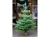 Premium REAL Non-Drop Christmas Trees - 3-8ft From £29 - Free Delivery