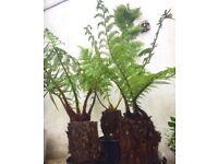 Newzealand tree ferns
