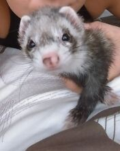 Male ferret wanted Corrimal Wollongong Area Preview