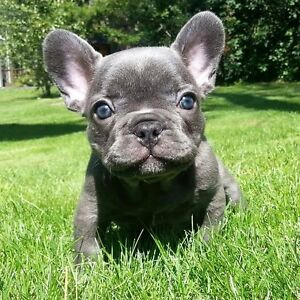 EXOTIC, EXQUISITE & RARE BLUE CHOCOLATE & SILVER FRENCH BULLDOGS