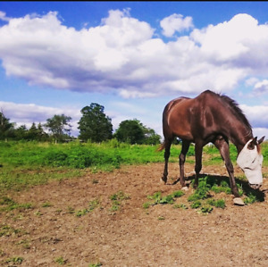 Well broke mare for sale to forever home.