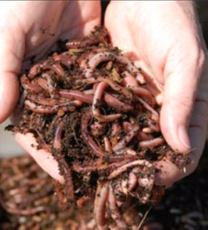 Compost Worms $50=3000 worms