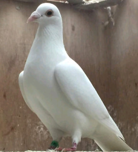 10 pear whyte pigeon for sale