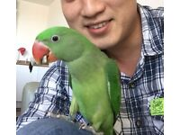 6 month old Baby Alexandrine Parrot+ Cage + Accessories for Sale