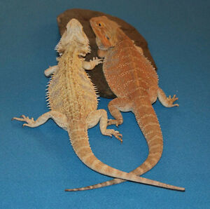 Bearded Dragon Babies due April!