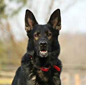 Exeptional Working Line German Shepherds for Sale