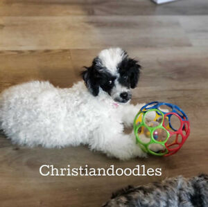 Miniature Poodle female puppy  NON shedding READY to GO!