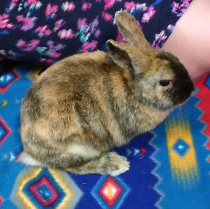 Mini-rex/holland lop bunny for sale