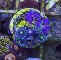Zoanthids and Palys- Coral Saltwater Frags
