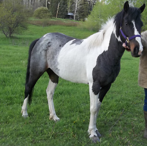 6 year old Paint mare (unregistered)
