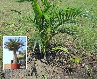 2 x Honig Palmen mediterrane Pflanze große Zimmerpalme für das Büro Büropflanze ()
