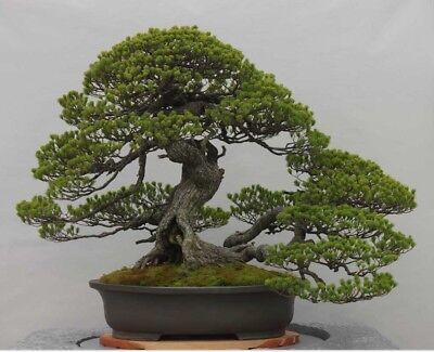 Black Japanese Bonsai Tree (RARE Japanese Black Pine Bonsai Tree Seeds, Bonsai Pine Tree Seeds, UK)