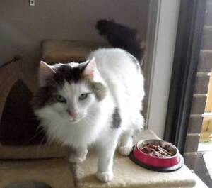 Wallace - Cat For Adoption - Cheltenham Cat Rescue Diggers Rest Melton Area Preview