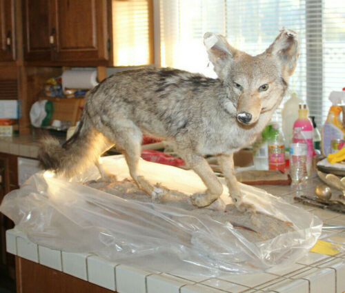 Full body Coyote Taxidermy mount for sale