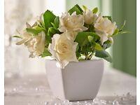 Cream Roses Pot