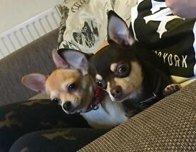 Male and Female Chihuahua for sale