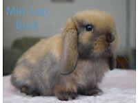 Mini Lop Rabbits - Lovely Temperament