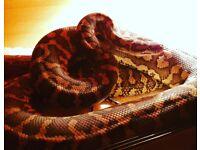 Coastal carpet python cross snake