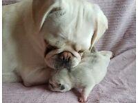 KC REG PUG puppies White and Chinchilla