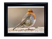 Wonderful European Robin framed print 35x29 cm