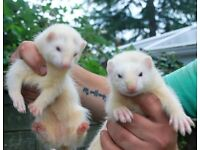 2 Baby Jills (kits) White with Black eyes ... approx 8/9 weels old