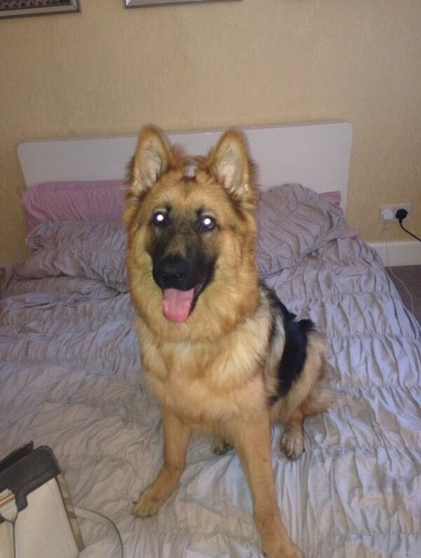 Dogs For Sale Gumtree Scotland