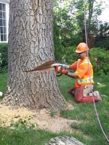 Ash tree removal ! Dangerous trees ? Call etree Oakville / Halton Region Toronto (GTA) image 6