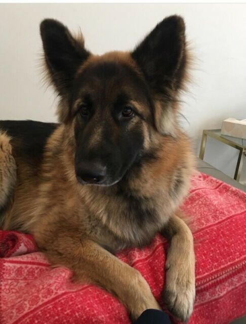 Buy German Shepherd Puppy online In South Australia
