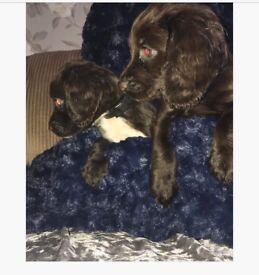 My 2 beautiful boy cocker spaniel puppy's left!