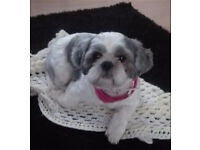 Female Shih Tzu Looking For A Forever Home